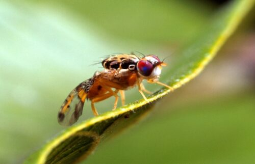 The Fruit Fly